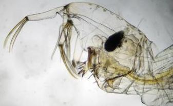Head of midge with prehensile antenna
