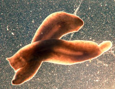 Platyhelminthes 3 clase